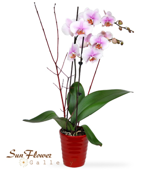 Pink Orchid By Sun Flower Gallery in Glenview il.