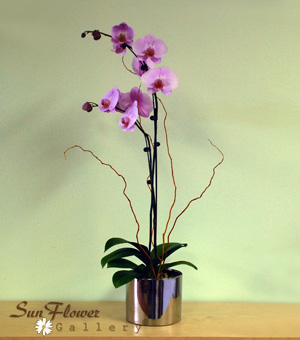 Phalaeonopsis Orchid Double